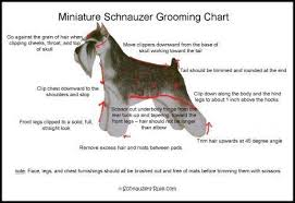 Giant Schnauzer Size Chart Pin On Dog