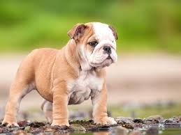 baby english bulldog wallpaper. Modren Wallpaper Baby English Bulldog Wallpaper  Wallpaper On Cave