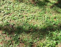 california ponysfoot dichondra donnelliana yarrow achillea californica and wild strawberry
