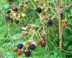 Blackberries  Agricultural Marketing Resource CenterTree With Blackberry Like Fruit