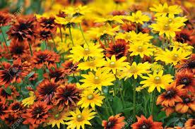 fall garden flowers. Fall Color, Rudbeckia Flowers In Autumn Garden Stock Photo - 6597769 N