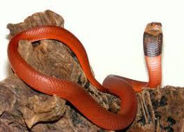 オレンジのコブラ