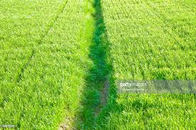 grass field from above. Green Grass Field Backgrounds Seen From Above - Image Whit Copy Space :  Stock Photo D