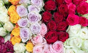 5 rose color meanings and their