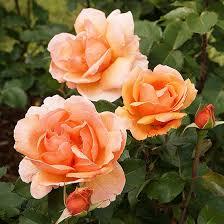 garden roses. Honey Perfume Garden Roses