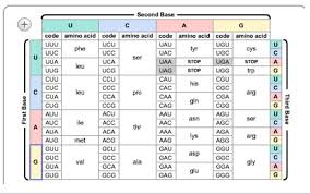 Amino Acid Chart 10 Use The Chart Below To Determine The Amino Acid Sequence
