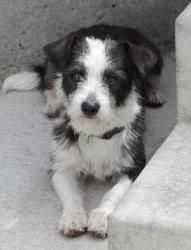 black and white terrier mix. Plain Terrier FileBlack And White Terrierjpg On Black And Terrier Mix S