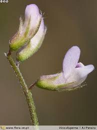 Vicia disperma   Flora-On