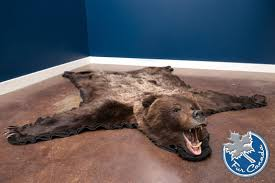 grizzly bear skin rugs grizzly bear ursus arctos furcanada