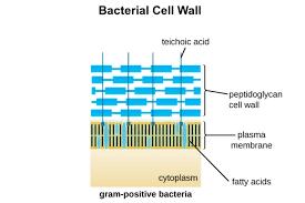 Gram Positive Vs Gram Negative Bacteria