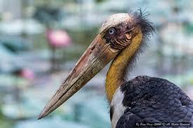 Image result for lesser adjutant stork nest