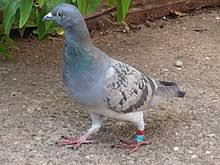 carrier pigeon. a homing pigeon on path outside carrier