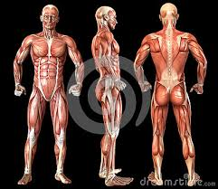 They are categorized by the muscles which they affect (primary and secondary), as well as the equipment required. Human Anatomy Full Body Muscles Stock Photography Cartoondealer Com 48356438