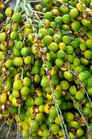 Palm Tree Fruit  Neodypsis U2013 Botanical Garden Funchal Madeira Palm Tree Orange Fruit