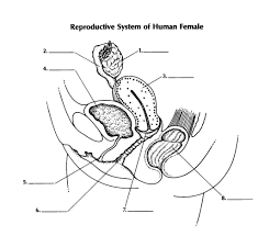 The vestibular bulbs rare two elongated masses of erectile tissue situated on either side of the vaginal opening. Diagram Side View Female Reproductive System Diagram Quizlet