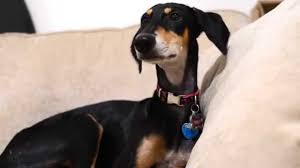 My Saluki Tilly: Dog of Speed - YouTube