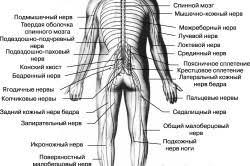 Возрастные особенности нервной системы Особенности детской нервной системы