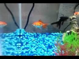 petsmart goldfish tank. Unique Petsmart My New Goldfish From Petsmart For Petsmart Goldfish Tank L