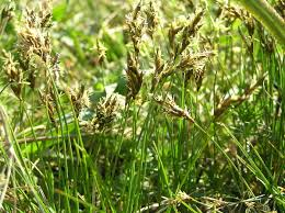 Carex praecox - Wikispecies