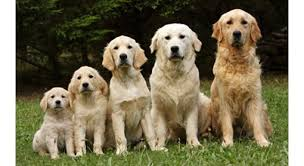 Golden Retriever Growth Chart Pictures Www