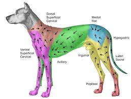Dog Lymph Node Location Chart Where Are The Glands In A Dog Located Back To Annual