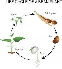 Green Bean Growth Chart Life Cycle Bean Plant Lovetoknow
