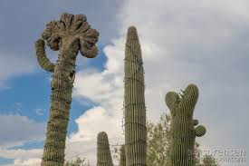 crested saguaro in the carefree desert gardens