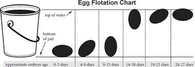 Incubation Procedures Beauty Of Birds