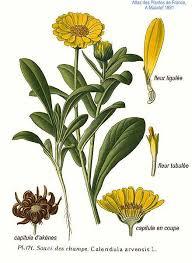 Calendula arvensis Field Marigold PFAF Plant Database