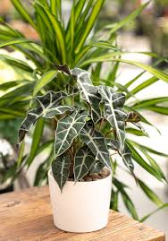 African Mask Plant Light Minty Alocasia