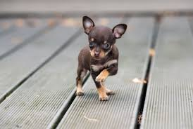 Chihuahua Color Chart Teacup Chihuahua Puppies Lifespan Price Pictures