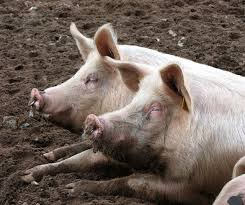 Image result for images of hogs being greedy