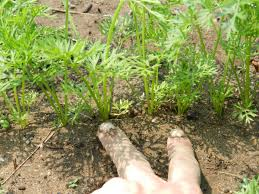 carrot plant stages.  Stages Seeding And Growing Carrots How To Thin Them When Harvest Mature  Ones Intended Carrot Plant Stages O