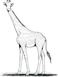 Coloring Pages Giraffe Antiatominfo