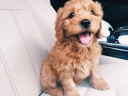 cute puppy. Interesting Cute Cute Puppy Ready For Driving Intended Puppy A
