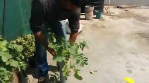 Growing Radish In Containers How To Grow Radish In Pvc Pipe