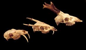 Small Animal Skull Identification Chart Adw Horns And Antlers