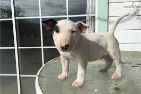 miniature bull terrier. Beautiful Miniature Miniature Bull Terrier Puppy For Sale Near Fresno  Madera California   B49d21a9add1 For I