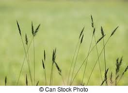 tall grass silhouette. Grass Silhouette - Of Tall Seeding With.