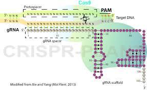 Crispr Cas9 Guide Rna Design Targeted Gene Mutation In Rice Using A Crispr Cas9 System