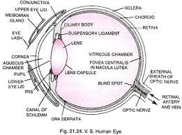 Lying Eye Chart Structure Of Human Eye With Diagram Human Body