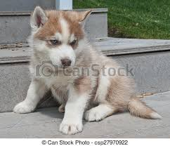 red husky puppy blue eyes. Unique Red Husky Puppy  Csp27970922 For Red Blue Eyes D