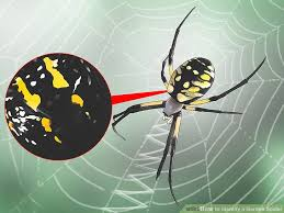 image titled identify a garden spider step 1