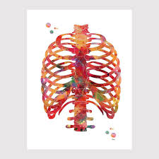 The ribs are a set of twelve paired bones which form the protective 'cage' of the thorax. Human Rib Cage Anatomy Art Watercolor Print Mimiprints Anatomy Art Prints And Science Art