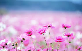 pink flowers valley on desktop wallpaper