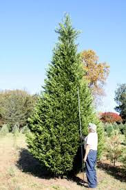 Hilltop Christmas Tree Farm - Tall Trees