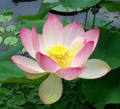 Pink Lotus Size Chart Nelumbo Nucifera Wikipedia