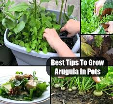 when to plant arugula arugula leaves are eaten as salad and vegetable vegetable is prepared by