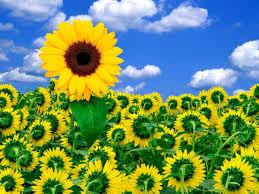 A, Little, Sunshine, Flower Wallpapers ...