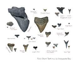 Sharks Teeth Identification Chart Shark Teeth Crafts